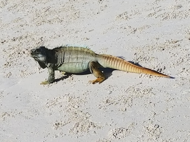 IGUANA BEACH 2