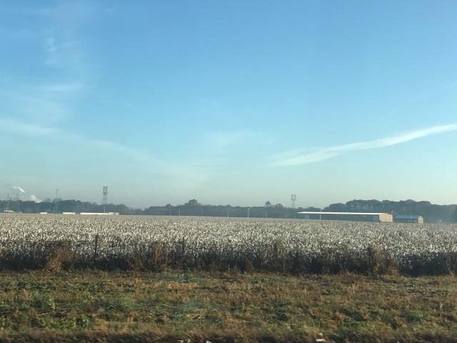 cotton field 1