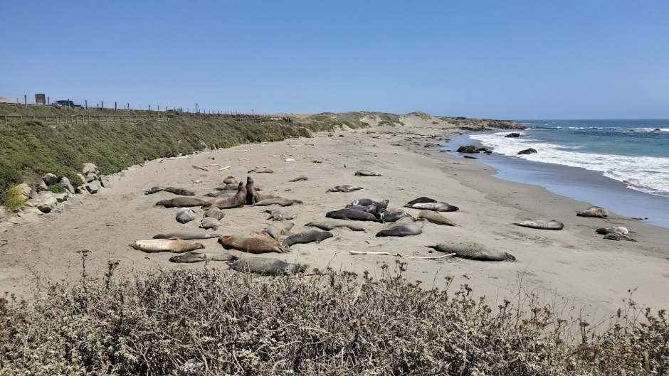 ELEPHANT SEALS 1 DAY 8 CA 2019.jpg